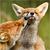 Grooming fox cubs
