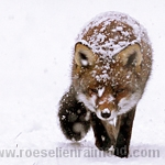 snow fox red fox vulpes vulpes snowing cold white winter snowstorm