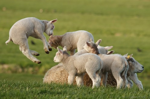 lamb cute leap leaping jump jumping spring float levitate play playing sheep