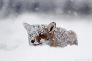 red fox snowing flakes cold winter storm vulpes vulpes