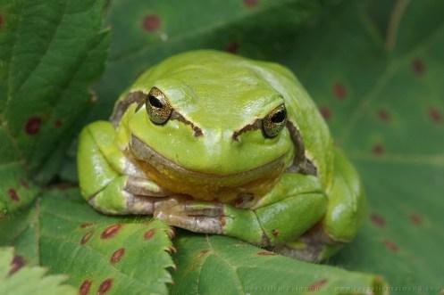 A Resting tree frog on a rusty leaf