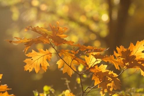 Yellow autumn leafs in late evening sun