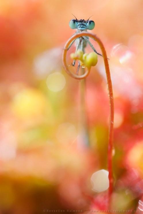 Damselfly climbing in the sundew flower