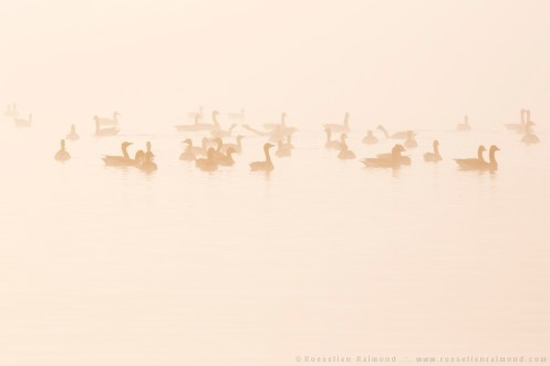 Geese floating on a lake on a foggy autumn morning