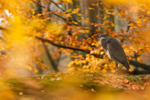 A Blue Heron in a yellow  autumn forest