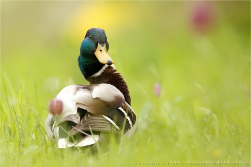 A Mallard in the grass