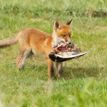"fox kit ""fox kit"" cub vulpes vos zorro renard fuchs cute playing wild animal"