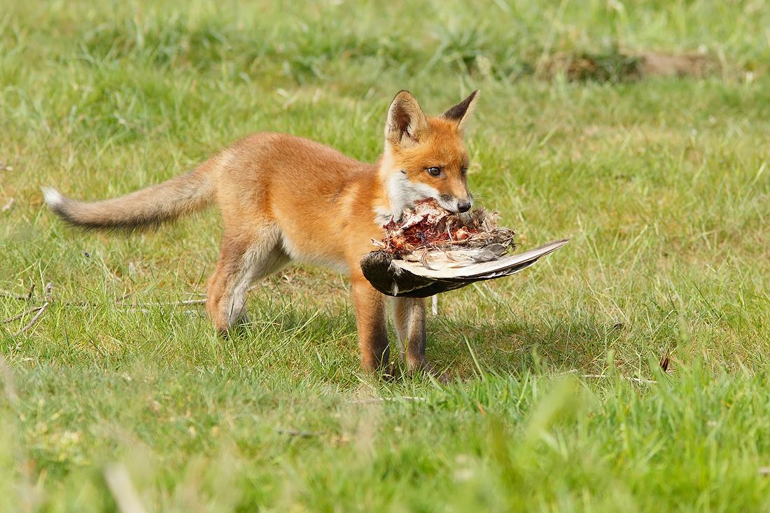 Recent Work Fox Kits Roeselien Raimond Nature Photography