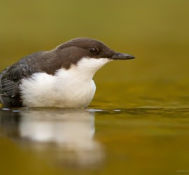 White-throated Dipper Cinclus cinclus cinclus Zwartbuikwaterspreeuw