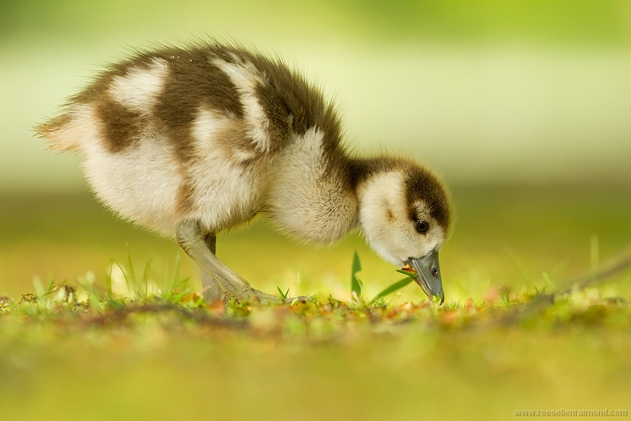 eating_gosling