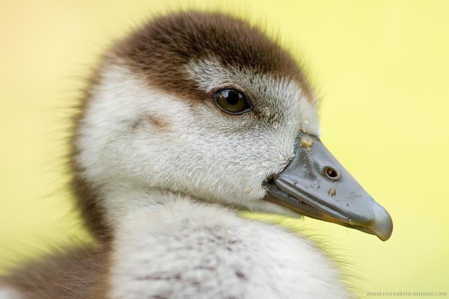 gosling_face