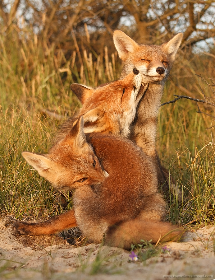 Grooming is an important aspect in fox relationships, which in all probability contributes to better bonding.