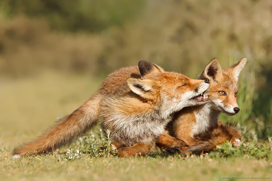 fox red fox baby youngster newborn suckling vulpes vulpes renard Fuchs volpe zorro kettu räv 狐狸 rubah raposa lis ثعلب лисица ræv αλεπού שועל róka refur キツネ 여우 lisica лисиця روباه líška จิ้งจอก tilki räv