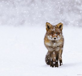 red fox vulpes vulpes winter cold snow snowing white