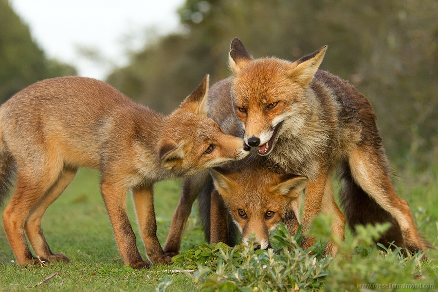 Fox mother and two of her fox kits