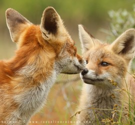 fox,kit,cub,young,young fox,red fox,vulpes vulpes