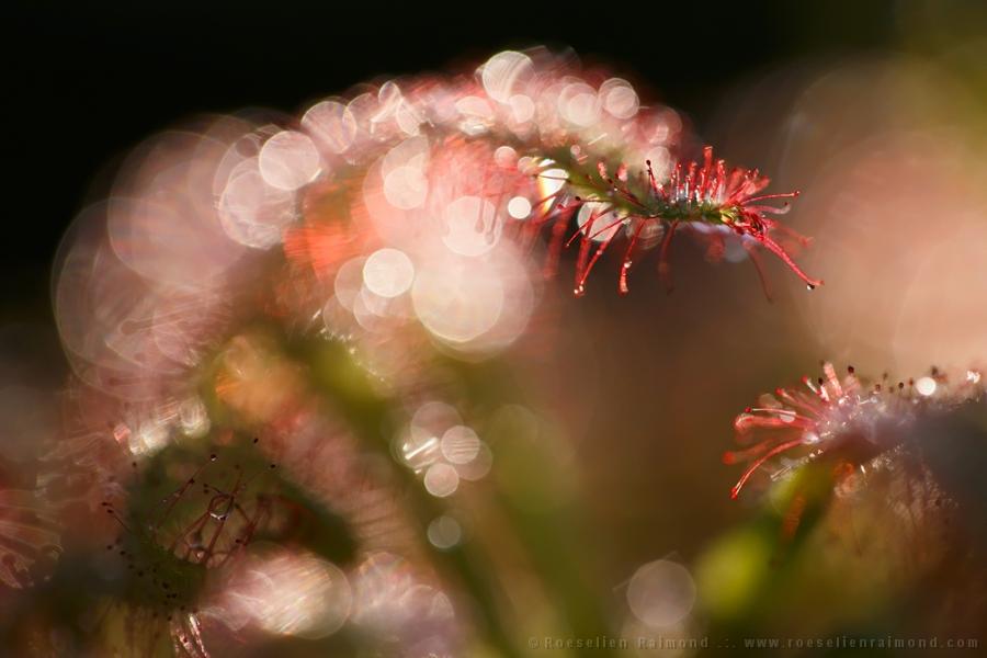 Drosera rotundifolia,common sundew,round-leaved sundew,vleesetende plant,carnivorous plant,insect,damselfly