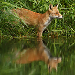 fox vulpes vulpes red fox water reflections mirror wet
