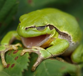 Yawning Tree frog