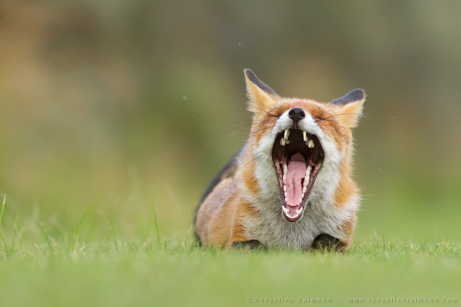 Red fox  yawning on a rainy day