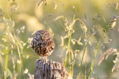 _DSC9687_little_owl