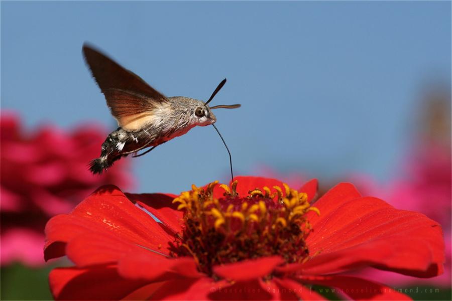 Hummingbird hawk-moth Macroglossum stellatarum moth butterfly proboscis insect macro