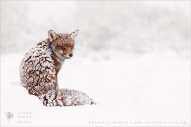 wildlife red fox vulpes vulpes snow winter white cold