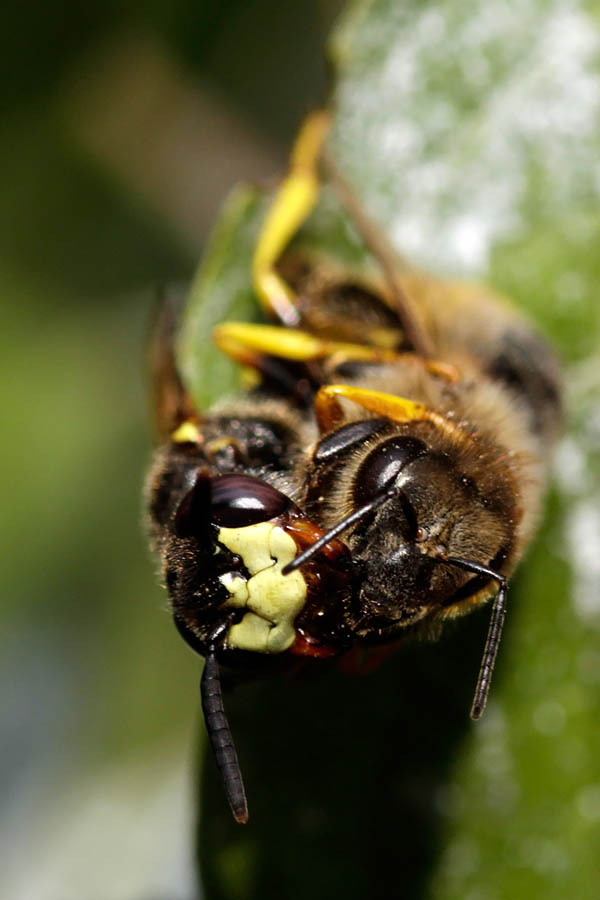 European beewolf bee-eating philanthus (Philanthus triangulum Bijenwolf