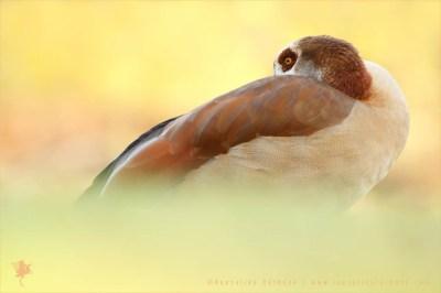 Alopochen aegyptiaca egyptian goose