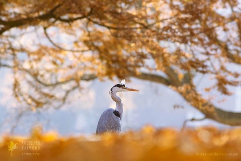 Blue heron fine art
