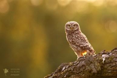 Fine art nature photography owl