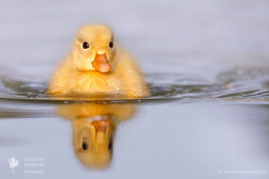 Yellow duckling reflected in the water