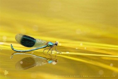 Banded Demoiselle male trying to seduce a female by lifting its tail