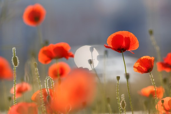 Poppies and reflections