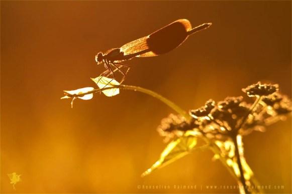 Banded Demoiselle (calopteryx splendens) at sunset