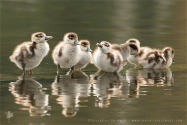 We are Family...Egyptian goslings (Alopochen aegyptiaca)
