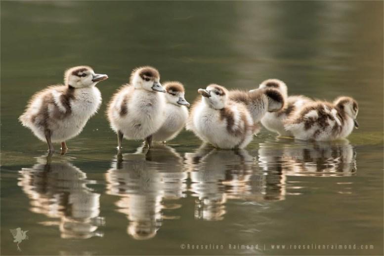 We are Family...Egyptian goslings (Alopochen aegyptiaca)