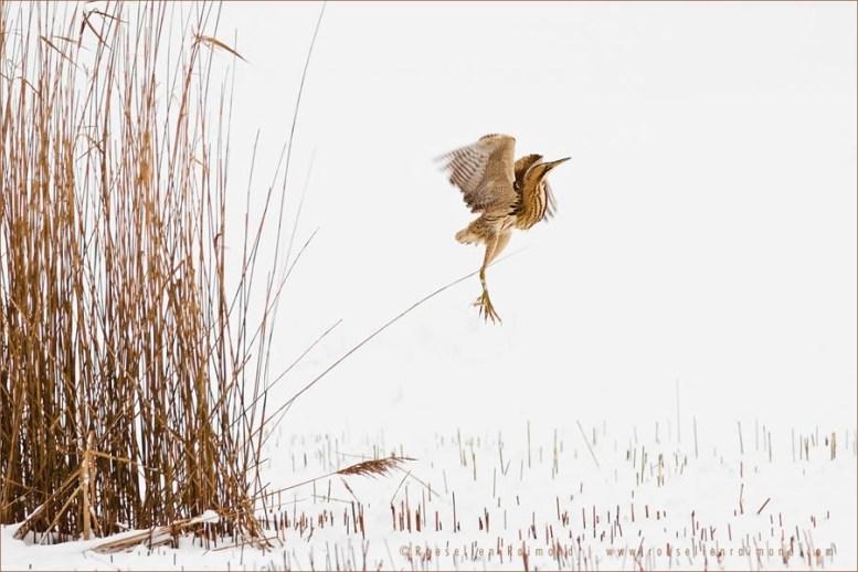 Euasian Bittern Botarus Stallaris winter snow nature photography fine art fox snow