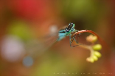 Blue-tailed Damselfly macro photography insect macro carnivorous Ischnura elegans macro insect sundew