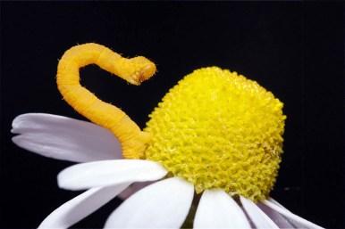 larva caterpilla insect macro photography Geometridae macro yellow