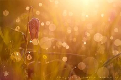 Boheh partyDewy chessflowers at sunrise