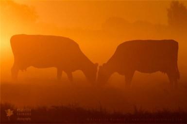 wildlife grazing cows bos taurus mist fog sunrise mist