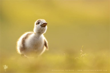 Cute Baby Gosling nature photography fine art