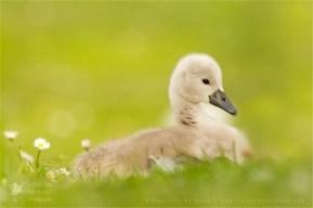 cygnet nestling swan swanling