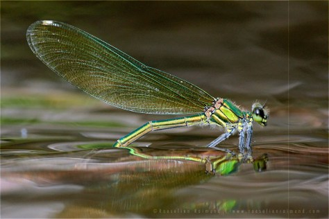 Banded Demoiselle Calopteryx splendens insect macro water reflections ovipositioning female macro photography