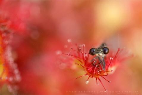 macro photography Blue-tailed Damselfly insect macro carnivorous Ischnura elegans macro insect sundew
