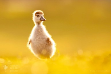 Egyptean gosling
