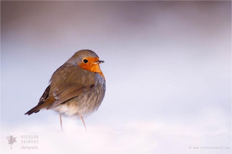 Bird photography European Robin Erithacus rubecula winter snow cold white