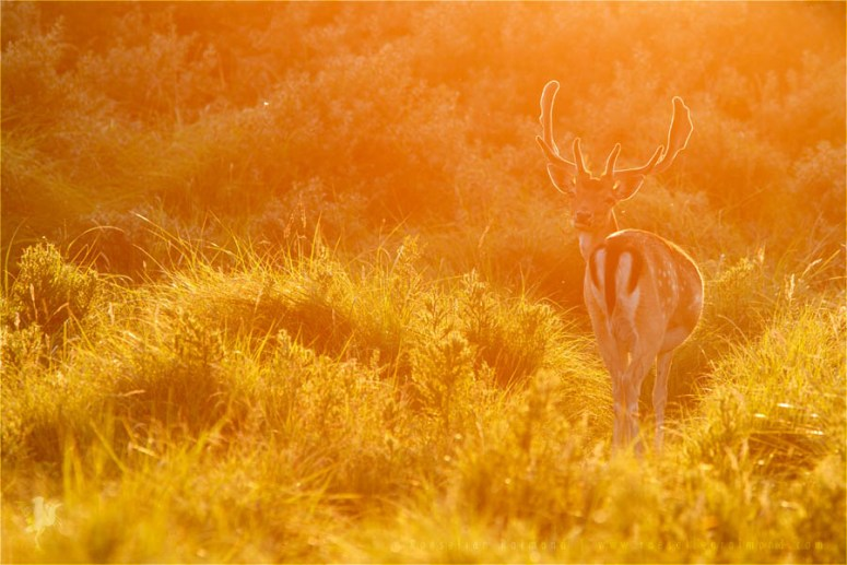 Fallow Deer Dama dama male buck backlight backlit sunset