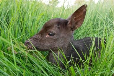 wildlife fallow deer Dama dama fawn wildlife